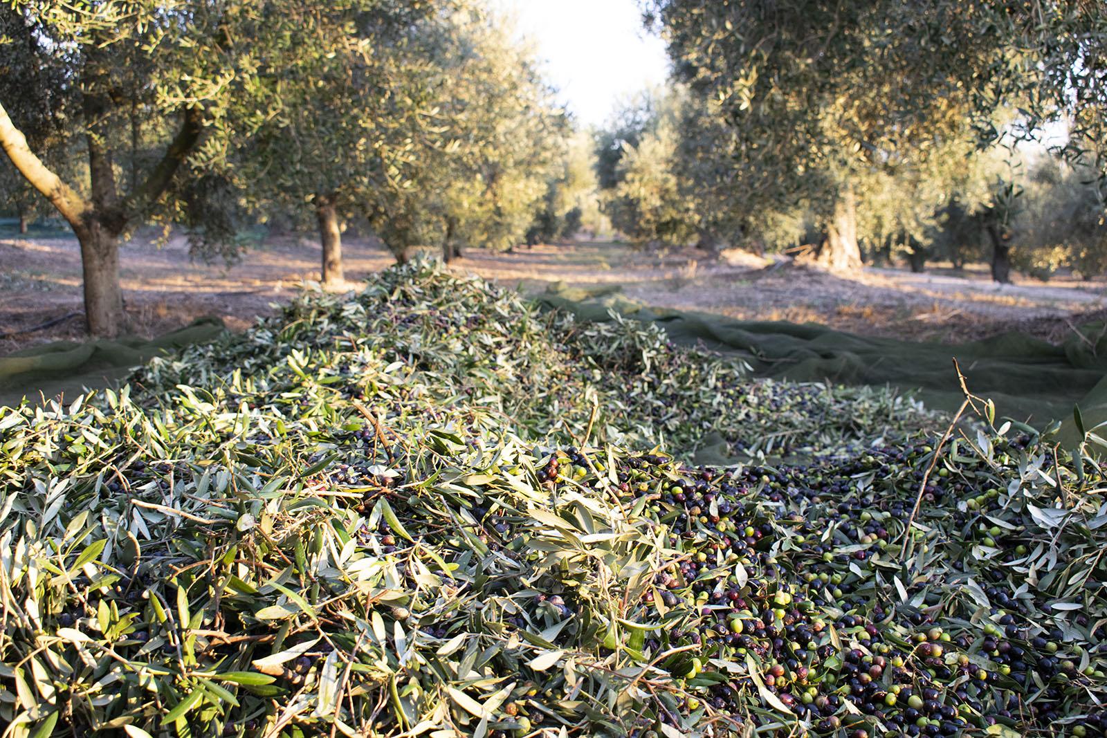La collita de les olives arbequines als nostres masos